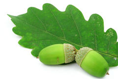Two acorns on oak leaf Stock Photography