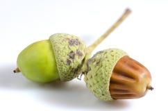 Two acorns Stock Photos