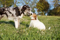 TWO ACTIVE DOGS PLAYING WITH A YELLOW TENNIS BALL ON GREEN GRASS PARK. JACK RUSSELL AND BORDER COLLIE SCOTTISH HAVING FUN stock photos