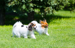 Two active white dog running around the green grass. Fluffy Puppy jumping on the lawn. Blurred focus. Papillon walk on the street and Phalen. Decorative fluffy stock image
