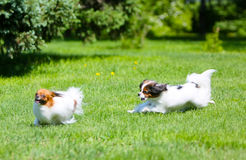 Two active white dog running around the green grass. Fluffy Puppy jumping on the lawn. Blurred focus. Papillon walk on the street and Phalen. Decorative fluffy royalty free stock photography