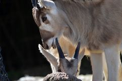 Two addax Stock Photography