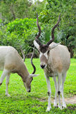 Two Addax Antelopes Stock Photos