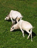 Two addax antilopes Stock Photo
