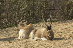 Two Addax lying down Royalty Free Stock Images