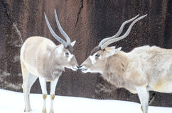 Two addax in the snow Stock Images
