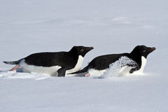 Two Adelie penguin who crawl on their bellies through the snowy Stock Image