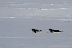 Two Adelie penguin who crawl on their bellies Stock Photo