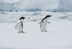 Two Adelie penguins on an ice floe. Two Adelie penguins on an ice floe on the background of the iceberg Stock Photos