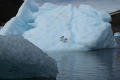 Two adelie penguins on iceberg. Summer scene around Devil Island, Antarctica