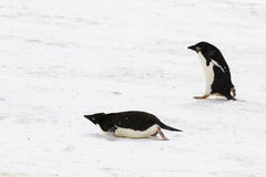 Two Adelie Penguins, one walking, one sliding on its belly. At Weddel Sea, Antarctica stock photography