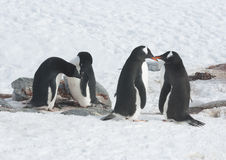 Two Adelie penguins and two gentoo penguin. Two Adelie penguins and two gentoo penguin colony at the site of the future Stock Images