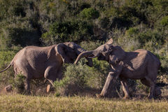 Two adolescent elephant bulls sparring Royalty Free Stock Image