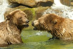 Two adolescent grizzly bears play fighting in water. Two adolescent grizzly bears, or North American brown bear, play fighting in a pond of water, water falling Royalty Free Stock Photos