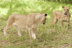Two adolescent lionesses Stock Images