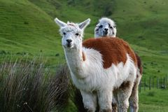 Two Adorable Alpacas. One alpaca peeks over another, in a lush green meadow stock photography