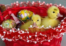Baby ducks and the Easter basket. Two adorable baby ducks in the basket with Easter eggs royalty free stock photography