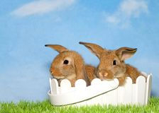 Two brown bunnies in a white easter basket. Two adorable brown baby bunnies sitting in a white basket in green grass with blue background sky with clouds. Copy royalty free stock photography