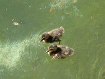 Baby Ducks Stock Images