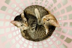 Two adorable Cats lying in basket. Lovely Couple family friends sisters time at Home. kittens cuddle snuggle together royalty free stock image