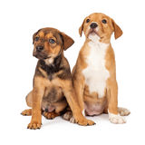 Two Adorable Crossbreed Puppies Royalty Free Stock Photos