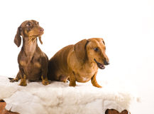 Two adorable dachshund isolated Royalty Free Stock Photos