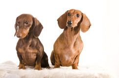 Two adorable dachshund isolated Stock Photo