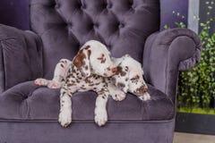 Two adorable dalmatian puppies on a chair idoors. Two adorable dalmatian puppies on a chair stock photos