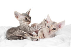 Two adorable devon rex kittens playing Stock Photography