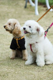 Two adorable dogs Stock Photography