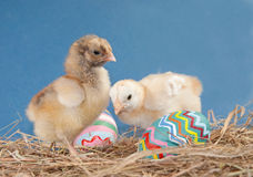 Two adorable Easter chicks Royalty Free Stock Photo