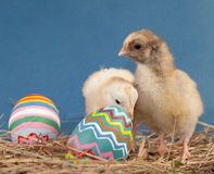 Two adorable Easter chicks in hay Royalty Free Stock Images