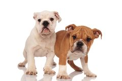 Two adorable english bulldog puppies playing together Royalty Free Stock Image