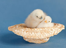 Two adorable fluffy Easter chicks snuggled up. In a tiny straw hat on blue background Stock Photos