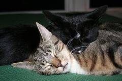 Cats Tom & Jake Snuggle II royalty free stock photos