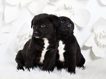 Two adorable fluffy puppies leaning to each other, white backgro stock photography