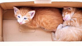 Two adorable ginger baby cats in box, one is sleeping, one is looking at camera, lovely pets, 4k footage, slow motion.  stock video footage