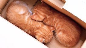 Two adorable ginger baby cats sleeping in box, lovely pets breathe peacefully, 4k footage, slow motion.  stock video