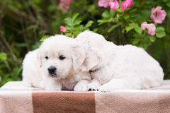 Two adorable golden retriever puppies Royalty Free Stock Image