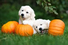 Two adorable golden retriever puppies playing with pumpkins stock photo