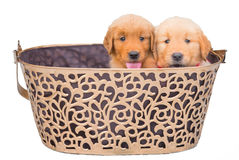 Two adorable golden retriever puppies sitting in big basket Royalty Free Stock Photos