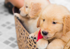 Two adorable golden retriever puppies sitting in big basket Royalty Free Stock Image