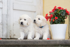 Two adorable golden retriever puppies Stock Image
