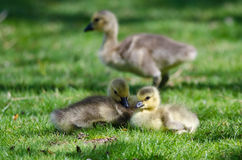 Two Adorable Goslings Resting in the Green Grass Royalty Free Stock Image