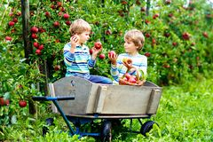 Two adorable happy little kids boys picking and eating red apples on organic farm, autumn outdoors. Funny little stock photos
