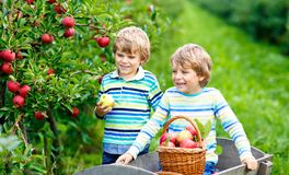 Two adorable happy little kids boys picking and eating red apples on organic farm, autumn outdoors. Funny little stock images