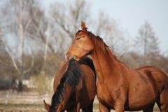 Two adorable horses nuzzling each other Stock Images