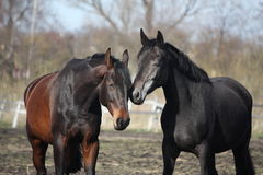Two adorable horses nuzzling each other Stock Photography
