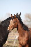 Two adorable horses nuzzling each other Royalty Free Stock Image