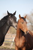 Two adorable horses nuzzling each other Royalty Free Stock Photography